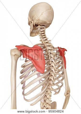 medical accurate illustration of the scapula