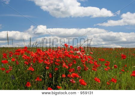 Landscape With Poppy Flowers