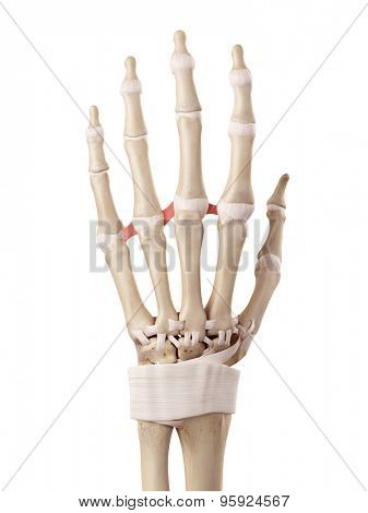 medical accurate illustration of the deep transverse metacarpal ligaments