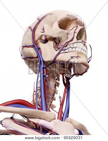 medical accurate illustration of the blood vessels of the head