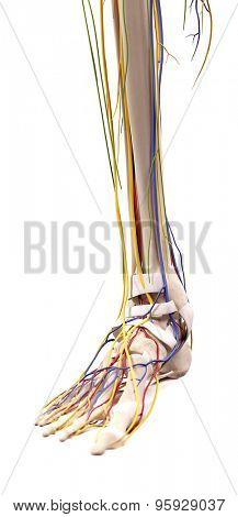 medical accurate illustration of the foot anatomy