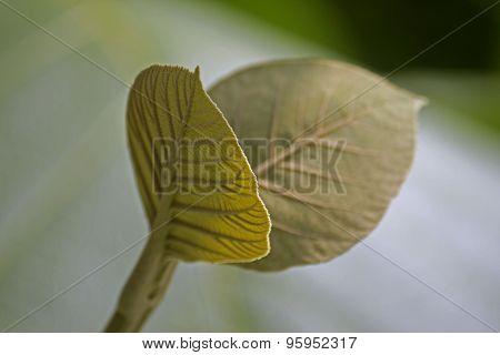 Teak Leaf, Tectona Grandis L. F., Verbenaceae, Jati