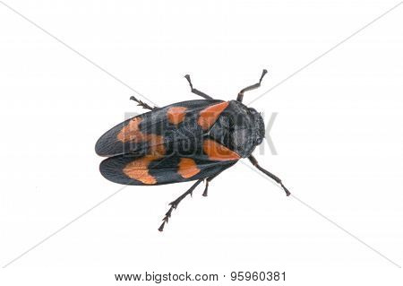 Froghopper On A White Background
