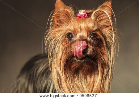 beautiful little hungry yorkshire terrier puppy dog licking her nose and craving some treats, studio picture on a grey background