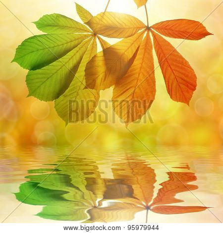Autumn leaves of chestnut tree (Aesculus hippocastanum) reflection on water level