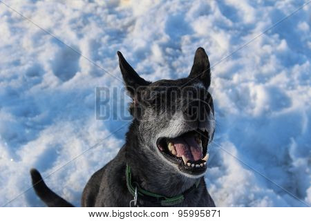 Snow grey dog on nature with big ears