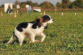 running purebred cavalier king charles in the grass poster