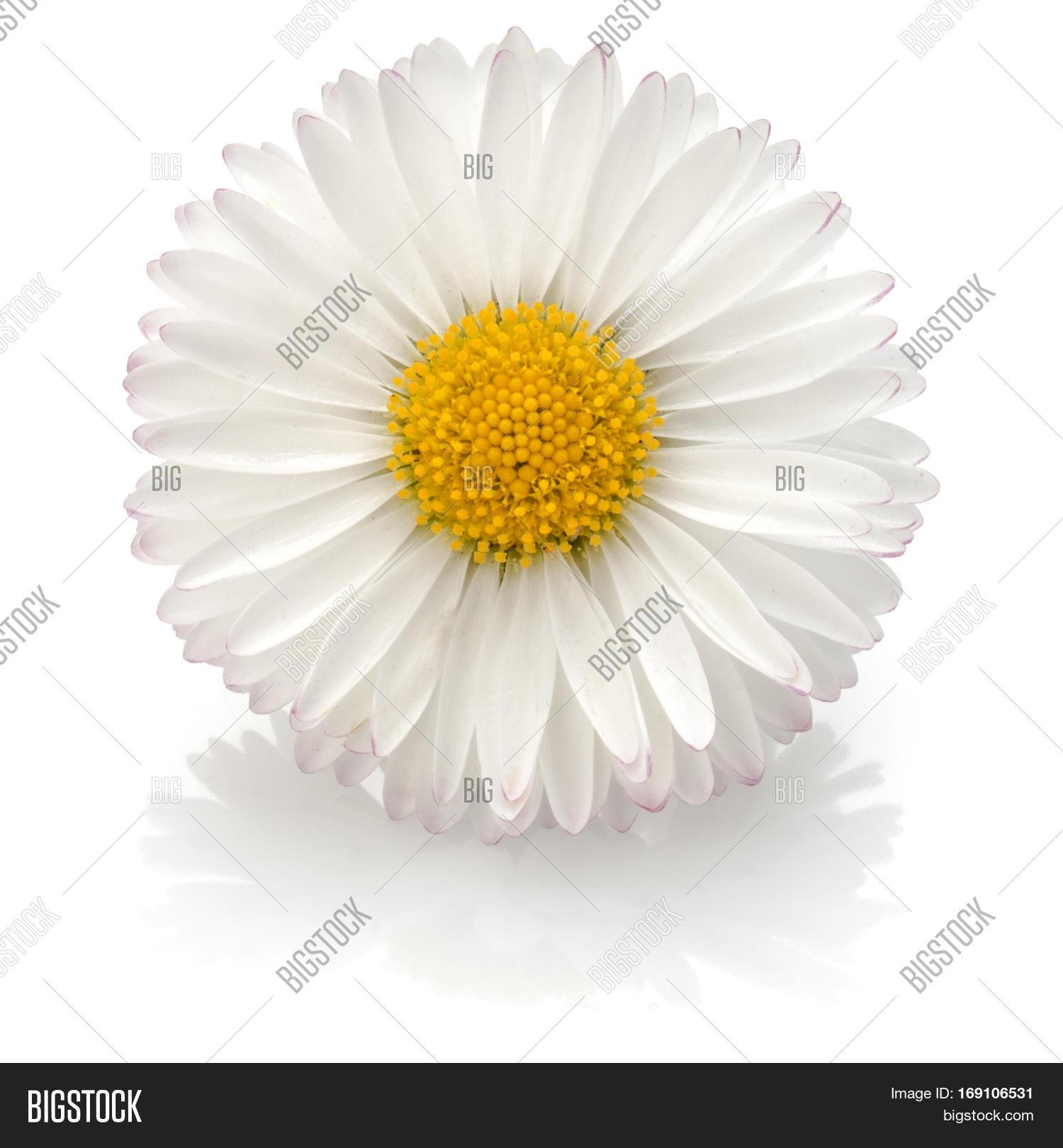 Beautiful Single Daisy Image Photo Free Trial Bigstock