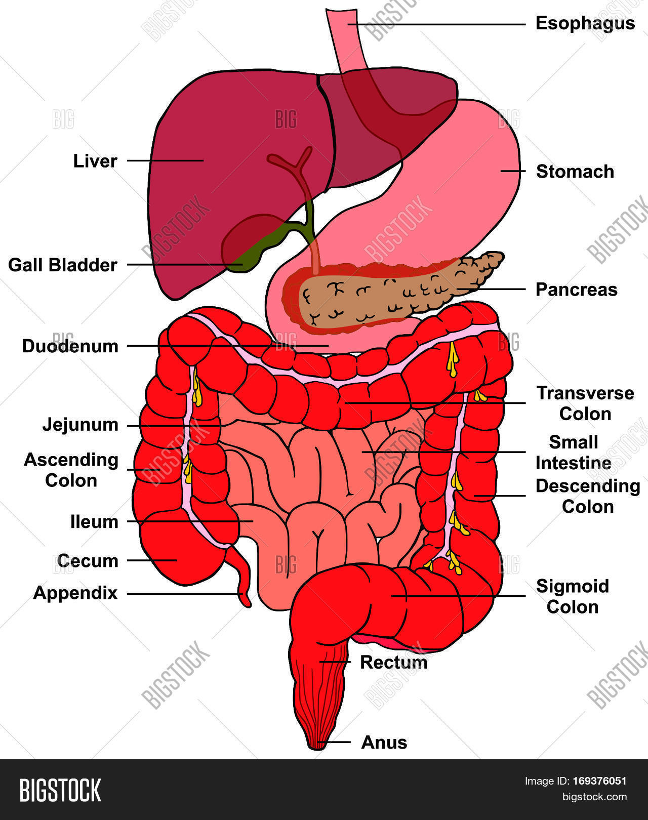 Digestive System Human Image & Photo (Free Trial) | Bigstock