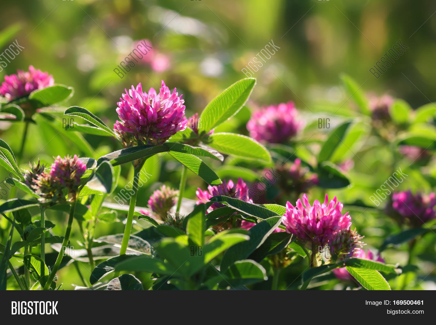 Pink Clover Flowers On Image Photo Free Trial Bigstock