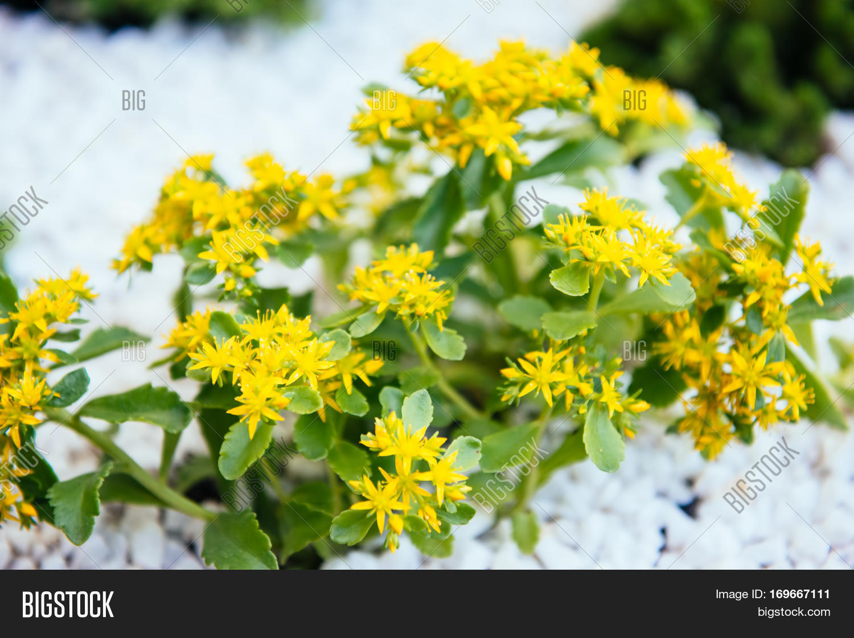 Photograph Image Yellow Flowers Image Photo Bigstock