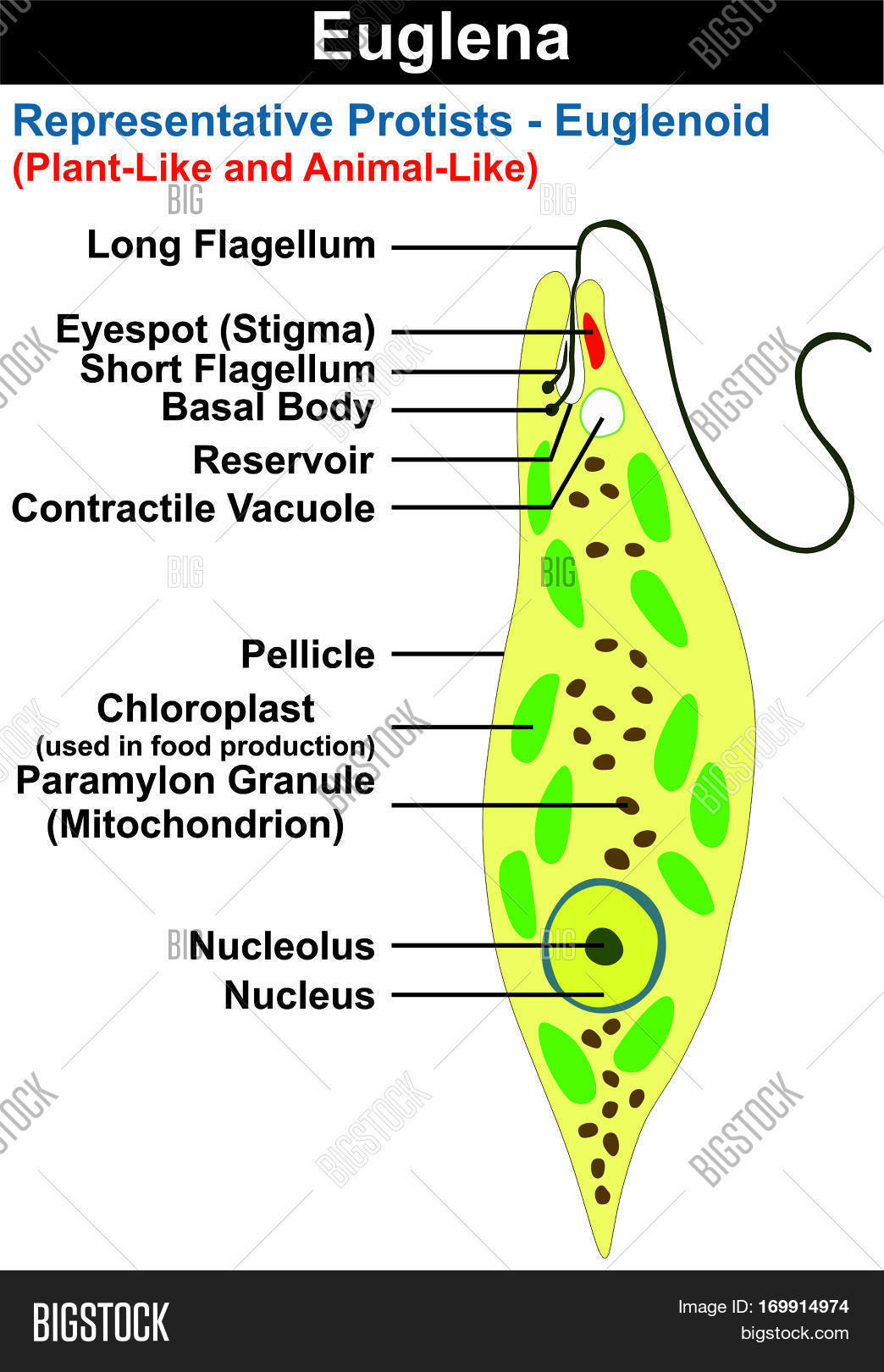 Euglena Cross Section Image & Photo (Free Trial) | Bigstock