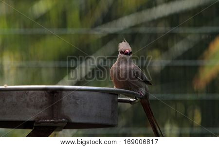 Blue Naped Mousebird Urocolius Macrourus