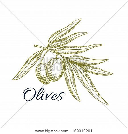 Sketch of olive tree branch with green olives bunch. Vector isolated icon or symbol for olive oil bottle label, vegetarian vegetable food salad ingredient and seasoning pack design for Italian, Mediterranean, Greek or Spanish cuisine