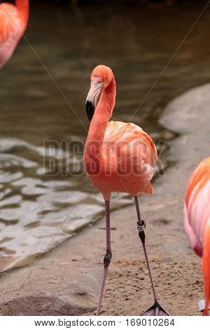 Pink Caribbean Flamingo Phoenicopterus Ruber