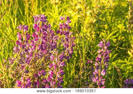 Beautiful Lupine Buds On The Grass Background