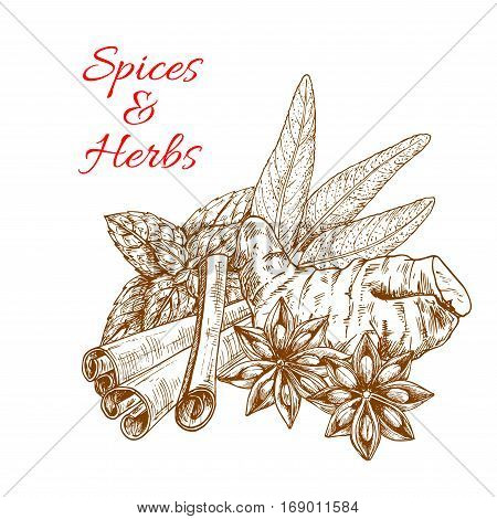 Spices and aromatic herbs sketch of ginger, cinnamon sticks, mint, anise seeds, and sage leaf. Herbal spicy culinary condiments or aroma flavoring spicy plants and greens for grocery store, farmer market or product pack design
