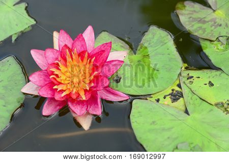 Closeup pink lotus flower in the pond