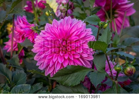 Bright pink Dahlia flower in bloom at a city flower show.