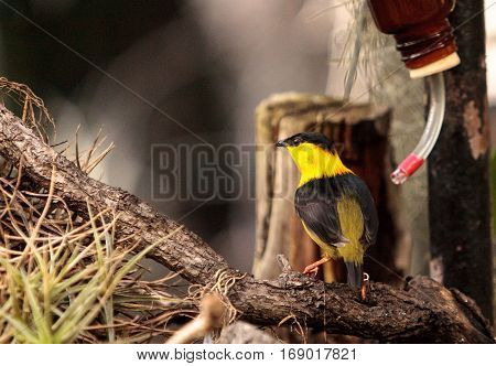 Golden Collared Manakin Manacus Vitellinus