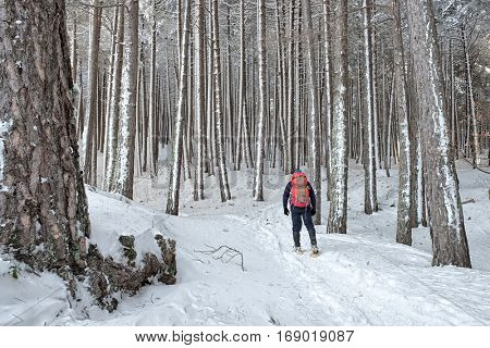 hiker in snowy pine forest of Etna Park, Sicily