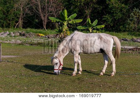 White horses eating gress in the field