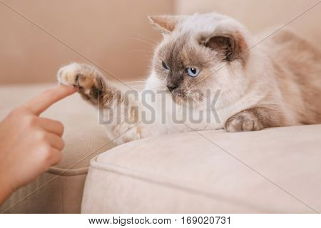 Cute cat playing with human hand while lying on sofa