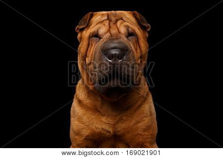 Close-up Portrait of Red Wrinkled Sharpei Dog on Isolated Black Background, Front view
