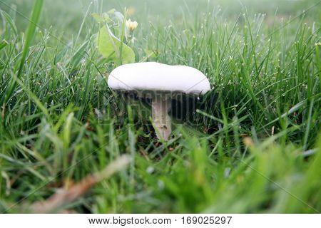 Agaricus bitorquis Mushroom aka torq, the banded agaric, spring agaric, or pavement mushroom.