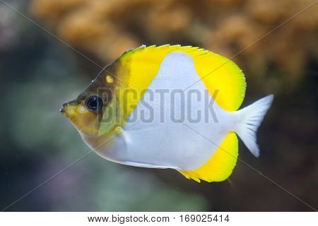 Pyramid butterflyfish (Hemitaurichthys polylepis). Marine fish.