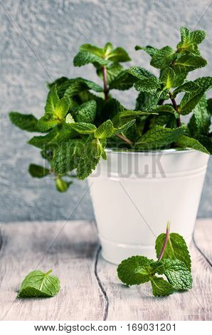 Fresh organic mint in a bucket on wooden table selective focus