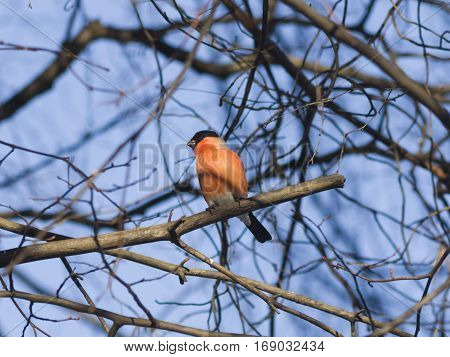 Red-colored Male of Eurasian Bullfinch Pyrrhula pyrrhula close-up portrait on branch with bokeh background selective focus shallow DOF