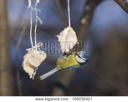Blue Tit Cyanistes caeruleus on a fat ball in winter close-up portrait selective focus shallow DOF