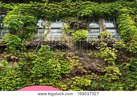 Ivy creeper on a building