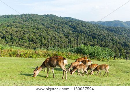 Deer eating grass on mountain