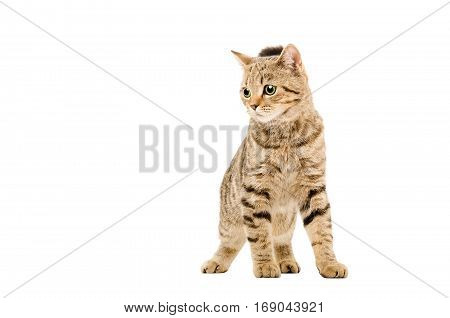 Attractive young cat Scottish Straight, isolated on white background
