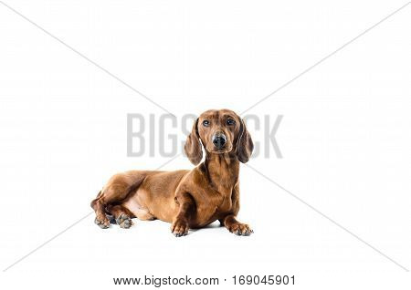 Short Red Dachshund Dog, Hunting Dog, Isolated Over White Background