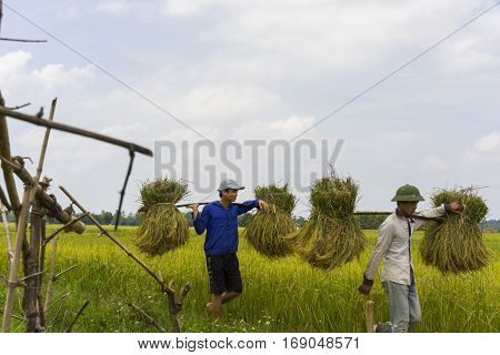 Hanoi, Vietnam June 7: Unidentified farmers work on rice field in harvest season on June 7, 2014 in Hanoi, Vietnam. Vietnam is the 2nd among the most rice export countries in the world.