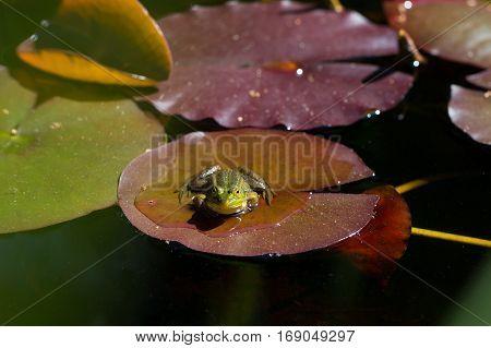 portrait of natural green frog (Rana esculenta) sitting on a leaf