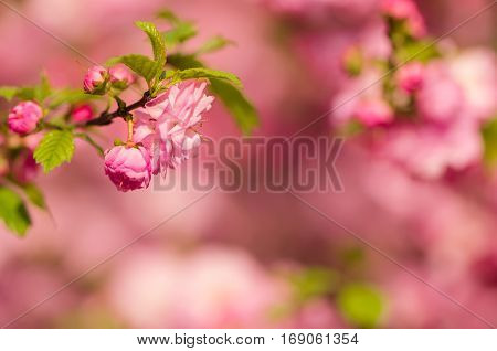 Prunus triloba (Louiseania) blossoms. Spring twig of almond with beautiful pink flowers. Close-up. Nature background with copyspace.