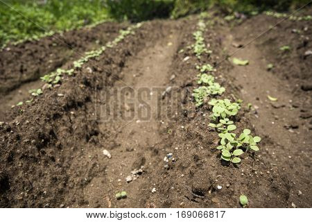 Green sesame cotyledons on lined field ridges