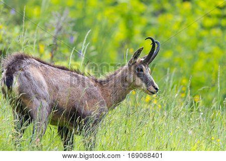 portrait of chamois browsing in grassland (Rupicapra rupicapra)