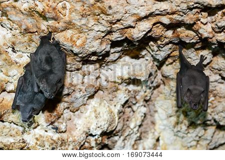 Bat on a cave at Giron on Cuba