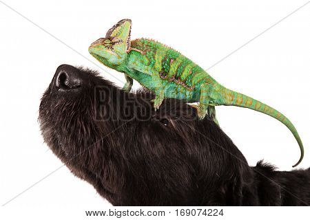 Veiled chameleon (chamaeleo calyptratus) with black dog on white background.