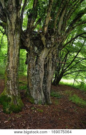 Old rotten and distorted tree in spring