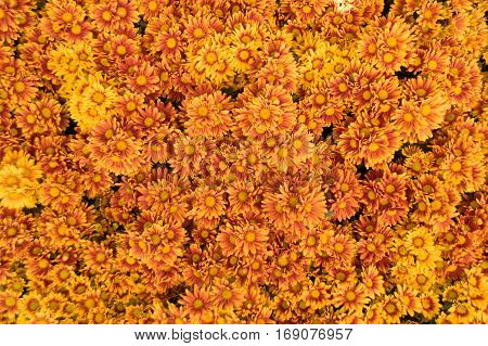 Cluse up yellow Chrysanthemum abstract nature texture background