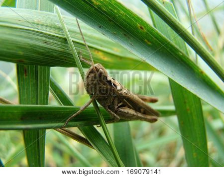 grasshopper sitting on the grass posing for the camera