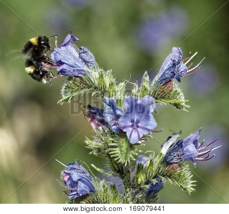European honey bee (Apis mellifera) gathering pollen, Honey Bee harvesting pollen from blue Blossom flower, honeybee, honey bee. New Zealand flora. New Zealand nature. New Zealand insects. Summer