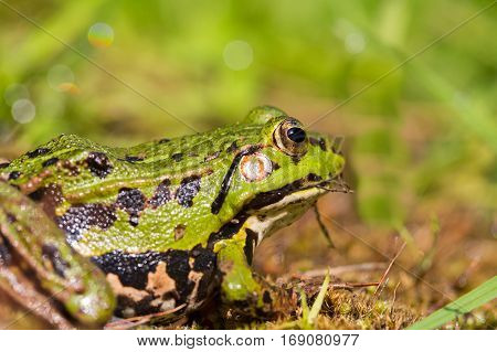 portrait of green frog (Rana esculenta) sitting in natural green environment