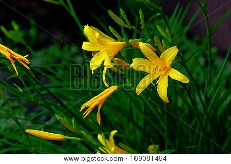 In a clearing grow beautiful and delicate flower daylily
